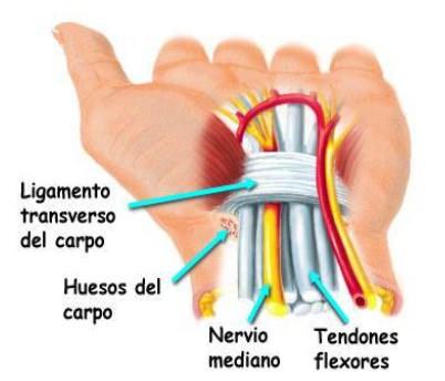Ligamentos, huesos, nervios y tendones del túnel carpo