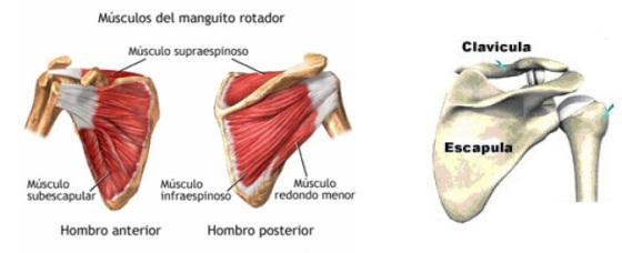 Músculos del manguito rotador