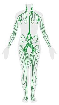 Linfa sobre anatomía humana
