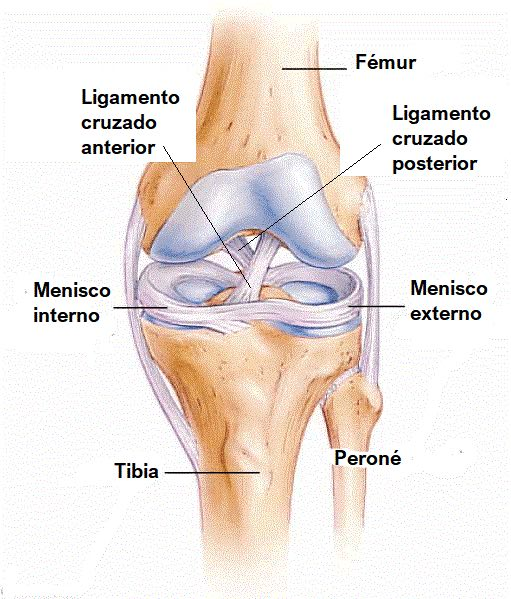 Anatomía articulación rodilla